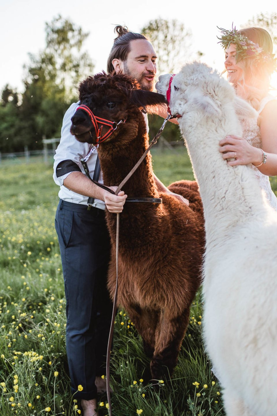 Alpakas zur Hochzeit - Bräutigam küsst Alpaka