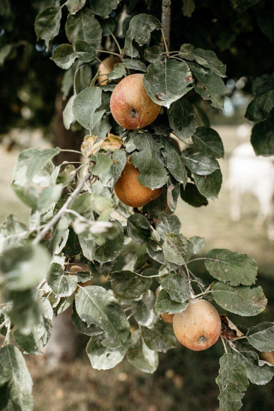 Apfelbaum im September